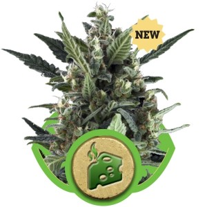 Blue Cheese Automatic, UltimateSeeds.pl