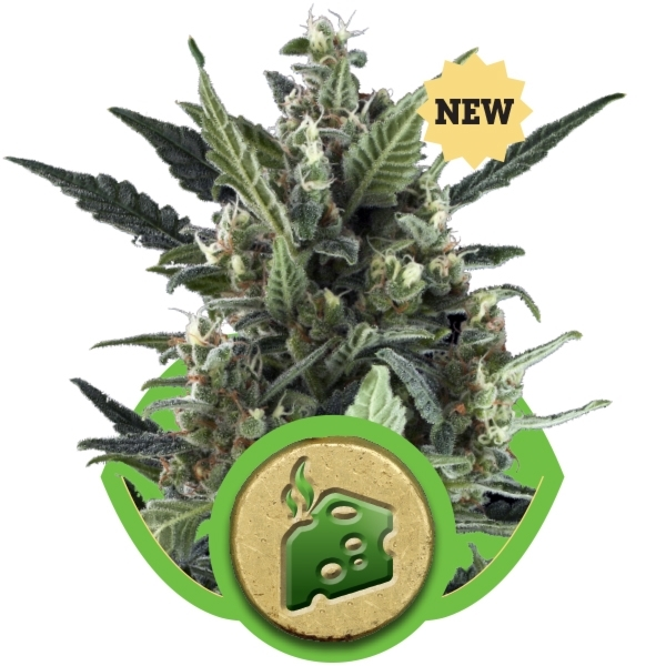 Recenzja Odmiany Blue Cheese Automatic od RQS, UltimateSeeds.pl