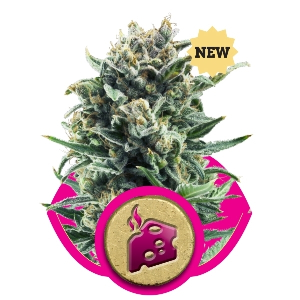 Recenzja Odmiany Blue Cheese od Producenta Nasion Royal Queen, UltimateSeeds.pl