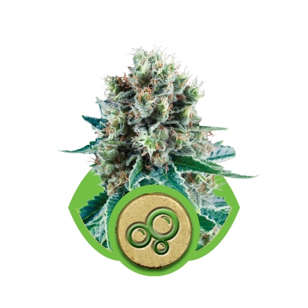 Recenzja Odmiany Bubble Kush Automatic od Royal Queen, UltimateSeeds.pl