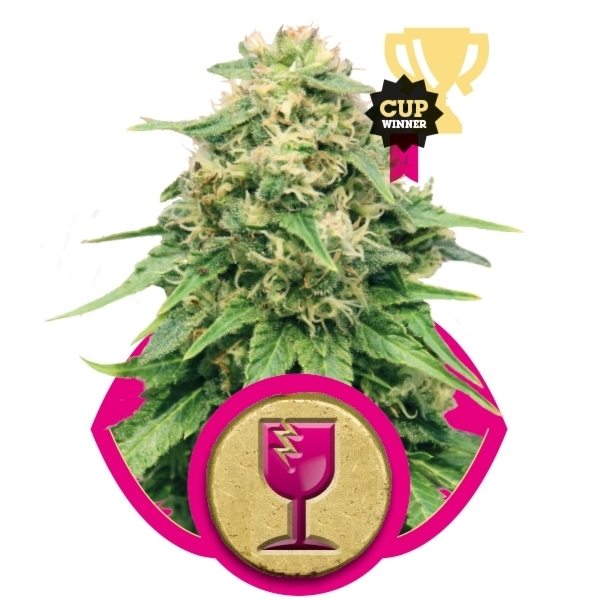 Recenzja Odmiany Critical od Royal Queen Seeds, UltimateSeeds.pl