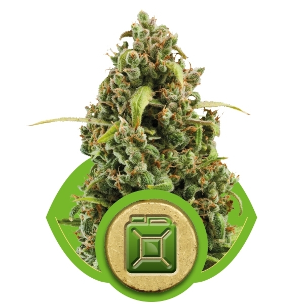 Recenzja Odmiany Diesel Automatic od Royal Queen Seeds, UltimateSeeds.pl