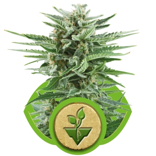 Recenzja Odmiany Easy Bud Automatic od Royal Queen Seeds, UltimateSeeds.pl