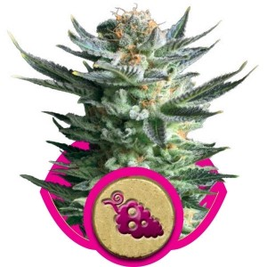 Fruit Spirit, UltimateSeeds.pl