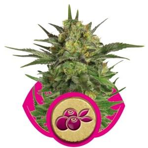 haze-berry
