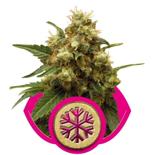 Recenzja Odmiany Ice od Producenta Nasion Marihuany Royal Queen Seeds, UltimateSeeds.pl