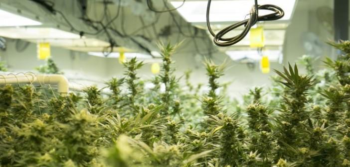 Hodowcy marihuany w USA zużywają prąd o wartości 6mld euro rocznie, UltimateSeeds.pl
