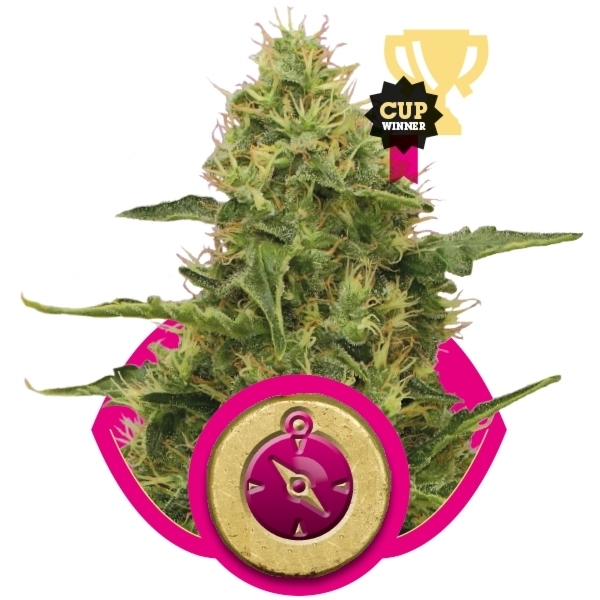 Recenzja Odmiany Northern Lights od firmy Royal Queen, UltimateSeeds.pl