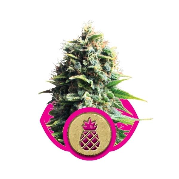 Recenzja Odmiany Pineapple Kush od RQS, UltimateSeeds.pl