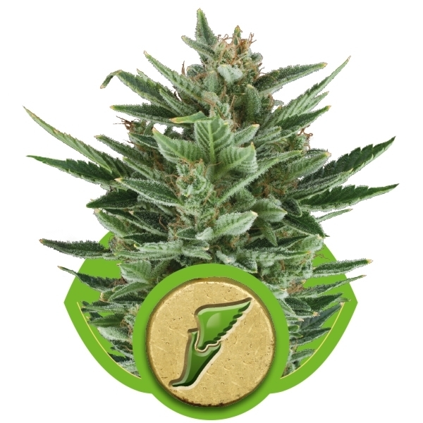 Recenzja Odmiany Quick One Auto od Royal Queen Seeds, UltimateSeeds.pl