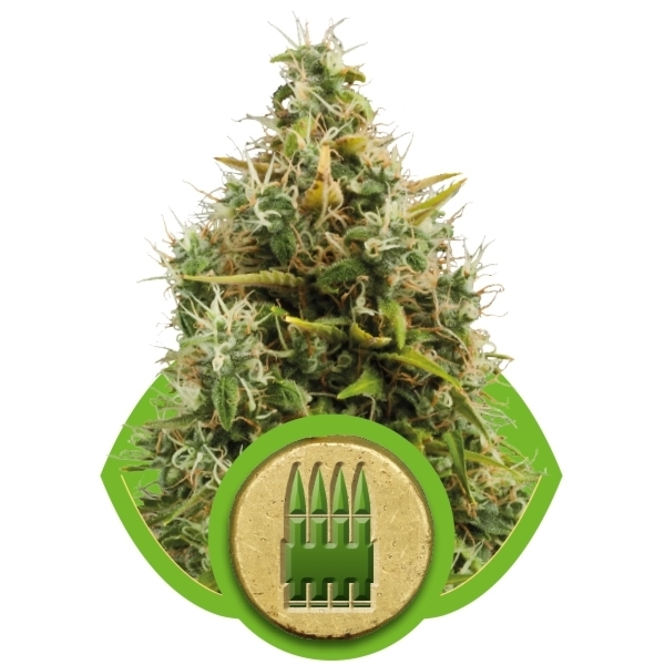 Recenzja Odmiany Royal AK Automatic od Producenta Royal Queen, UltimateSeeds.pl