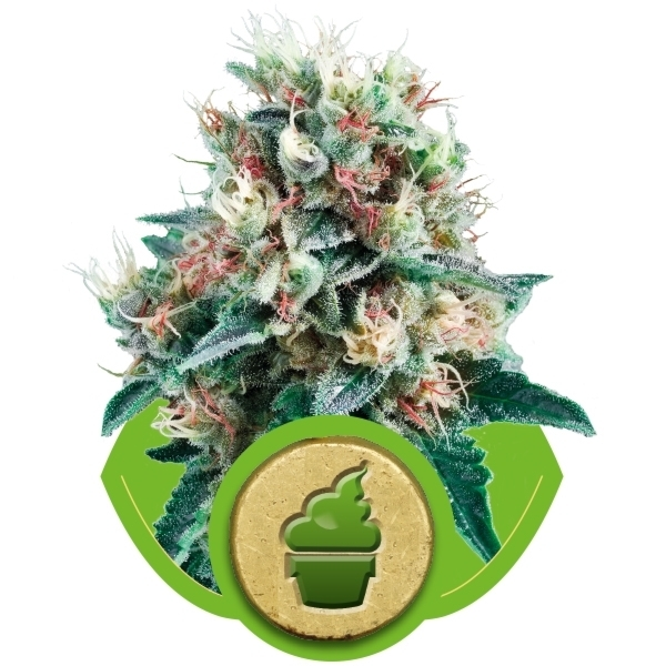 Recenzja Odmiany Royal Creamatic Auto od Royal Queen, UltimateSeeds.pl