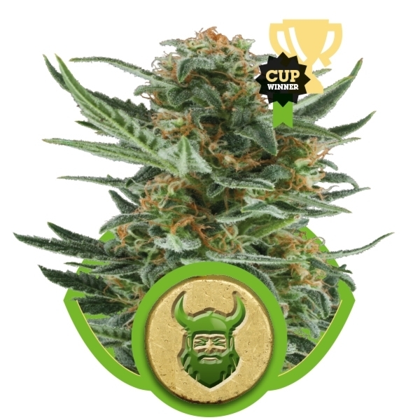 Recenzja Odmiany Royal Dwarf Auto od Producenta Royal Queen, UltimateSeeds.pl