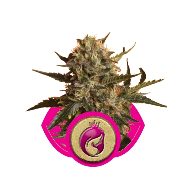 Recenzja Odmiany Royal Madre od Royal Queen, UltimateSeeds.pl