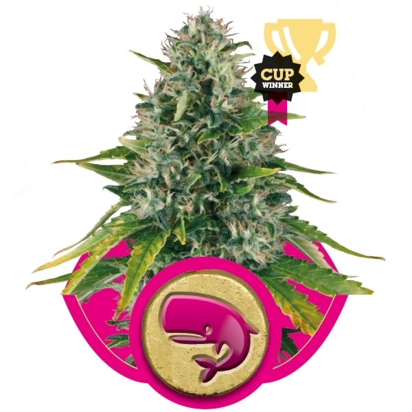 Recenzja Odmiany Royal Moby od Firmy Royal Queen, UltimateSeeds.pl