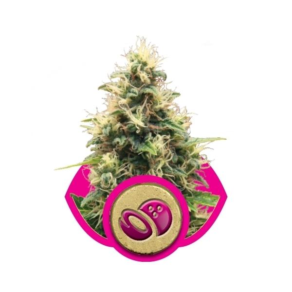 Recenzja Odmiany Somango XL od Producenta Royal Queen Seeds, UltimateSeeds.pl