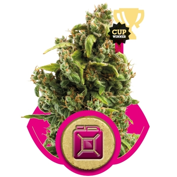 Recenzja Odmiany Sour Diesel od Firmy Royal Queen Seeds, UltimateSeeds.pl