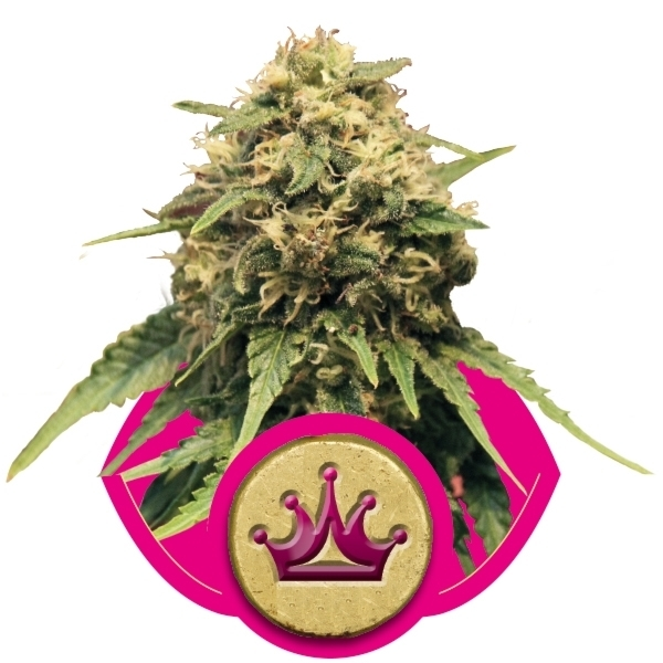 Recenzja Odmiany Special Queen 1 od Royal Queen, UltimateSeeds.pl