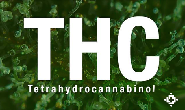 Wpływ THC na florę bakteryjną i otyłość, UltimateSeeds.pl