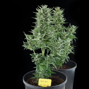 Easy Bud, UltimateSeeds.pl