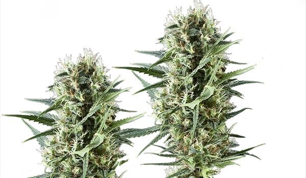 Special Kush   Nasiona marihuany, dobrej jakości za niską cenę, UltimateSeeds.pl