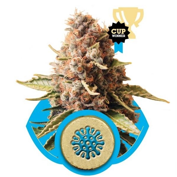 Recenzja Odmiany Euphoria od Producenta Nasion Royal Queen, UltimateSeeds.pl