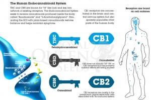 human_endocannabinoid