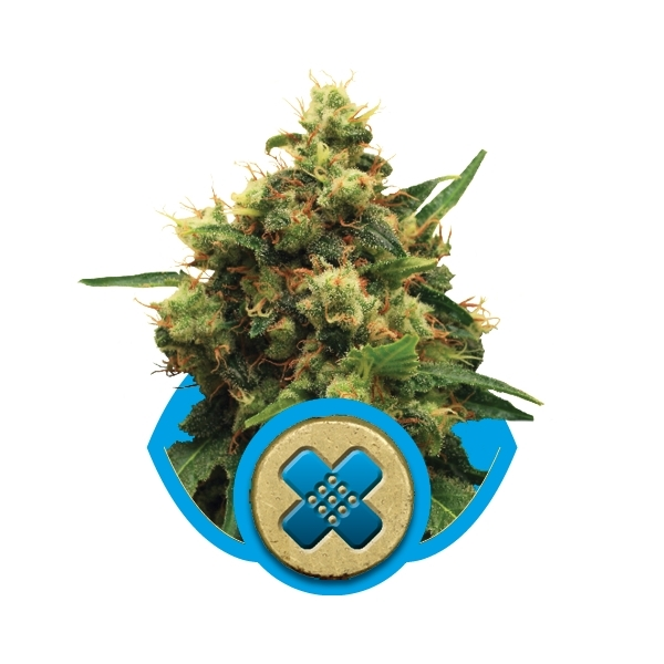 Recenzja Odmiany Painkiller XL od Producenta Royal Queen Seeds, UltimateSeeds.pl