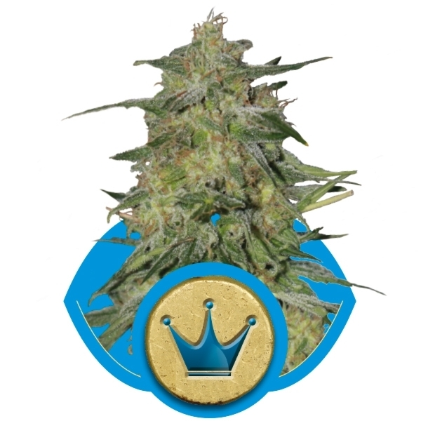 Recenzja Odmiany Royal Highness od Royal Queen Seeds, UltimateSeeds.pl