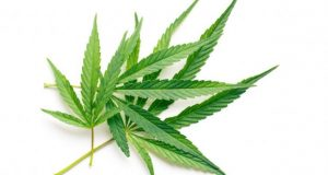Spożywanie surowego cannabisu, UltimateSeeds.pl