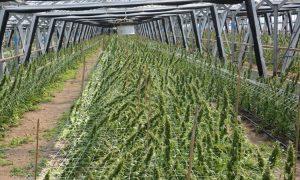 Szwajcaria: Poszukiwani pracownicy do plantacji cannabisu, UltimateSeeds.pl