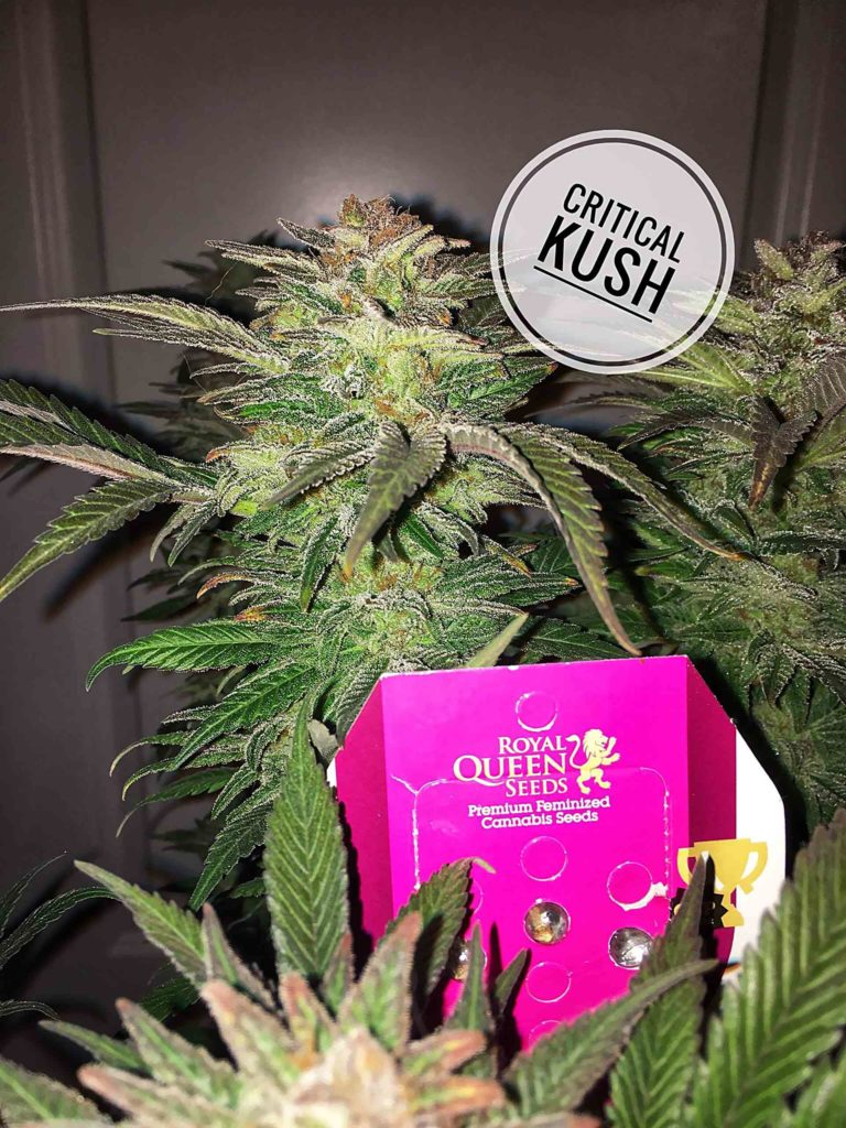 Recenzja Odmiany Critical Kush od Royal Queen, UltimateSeeds.pl